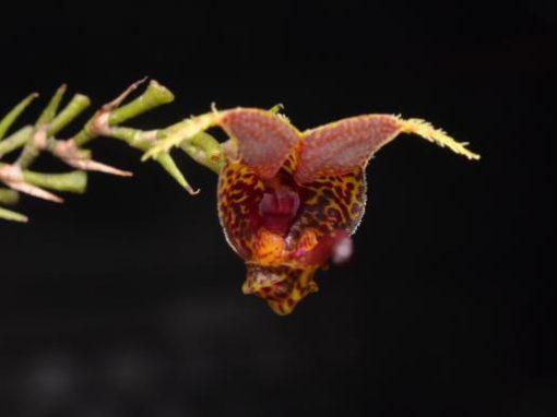 Dos especies endémicas de orquídeas se descubren en el Bosque Nublado del Carchi, al norte de Ecuador