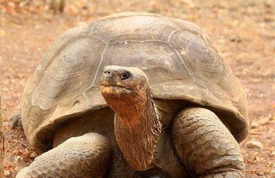 Eclosionan 3.000 huevos de tortugas en un centro crianza en Galápagos en 23 años