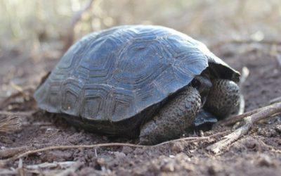 Después de 100 años, vuelven a nacer tortugas en las Islas Galápagos